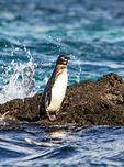 Galapagos Penguin, Spheniscus mendiculus