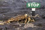 Animal Skeleton and Stop Sign, Punta Espinoza, Fernandina, Narborough, Galapagos National Park, Ecuador