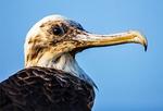 Brown Pelican and Hiker on Espumilla Beach, Pelecanus occidentalis, Santiago, James, Galapagos National Park, Ecuador
