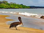 Brown Pelican on Espumilla Beach, Pelecanus occidentalis, Santiago, James, Galapagos National Park, Ecuador