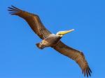 Brown Pelican Flying, Pelecanus occidentalis