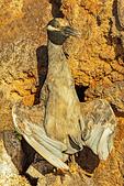 Yellow-Crowned Night Heron Thermoregulating, Nyctanassa violacea