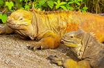 Galapagos land iguana, Conolophus subcristatus
