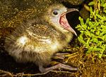 Baby Swallow-tailed Gull, Creagrus furcatus