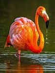 Caribbean Flamingos, Phoenicopterus Ruber