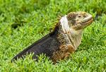 Galapagos Land Iguana, Conolophus subcristatus, Galapagos National Park, Ecuador