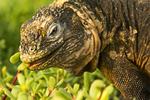 Galapagos Land Iguana Eating Plants, Conolophus subcristatus, Galapagos National Park, Ecuador