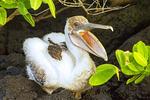 Baby Pelican on Lava Rock, Pelecanus occidentalis
