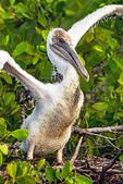 Baby Pelican on Nest, Pelecanus occidentalis