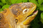 Galapagos Land Iguana Eating Plants, Conolophus subcristatus
