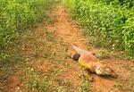 Galapagos Land Iguana Crawling on Trail, Conolophus subcristatus