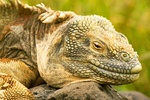 Galapagos Land Iguana, Conolophus pallidus, Santa Fe Island, Galapagos National Park, Ecuador