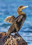 Flightless Cormorant, Phalacrocorax harrisi, Nannopterum harrisi