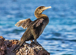 Flightless Cormorant, Phalacrocorax harrisi, Nannopterum harrisi