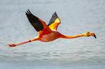Caribbean Flamingo Flying, Phoenicopterus Ruber
