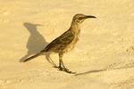 Hood Mockingbird, Espanola mockingbird, Mimus macdonaldi, Nesomimus macdonaldi
