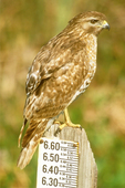 Immature Red-shouldered Hawk on Water Level Marker, Buteo lineatus