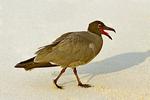 Lava Gull, Leucophaeus fuliginosus