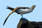Blue-footed Booby, Sula nebouxii