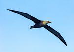 Waved Albatross Flying, Galapagos Albatross, Phoebastria irrorata