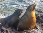 2 Galapagos Sea Lions, Zalophus wollebaeki, Galapagos National Park, Ecuador
