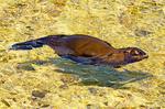 Galapagos Sea Lion Swimming, Zalophus wollebaeki, Galapagos National Park, Ecuador