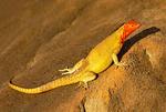 Female Espanola Lava Lizard, Microlophus delanonis, Tropidurus delanonis