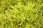 Galapagos Carpet Weed, Sesuvium edmonstonei