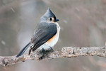 Tufted Titmouse in Snow, Baeolophus bicolor