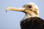 Great Frigatebird, Fregata minor