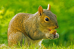 Eastern Grey Squirrel Eating, Sciurus carolinensis