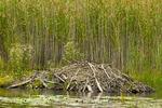 Beaver Lodge in Freshwater Marsh