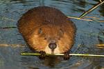 Beaver Eating, Castor Canadensis