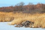 Beaver Lodge in Freshwater Marsh in Winter