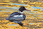 Male Red-breasted Merganser, Mergus serrator