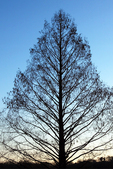 Dawn Redwood Silhouette, Metasequoia glyptostroboides