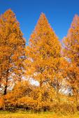 Dawn Redwood, Metasequoia glyptostroboides
