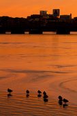 Ducks Silhouetted on the Frozen Charles River at Sunset, Boston Skyline in Winter, Boston, Massachusetts