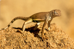 Chihuahuan Greater Earless Lizard, Southwestern Earless Lizard, Cophosaurus texanus scitulus