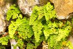 Common Maidenhair Fern, Adiantum capillus-veneris, Cattail Falls Trail, Chisos Mountains, Chihuahuan Desert, Big Bend National Park, Texas
