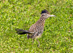 Greater Roadrunner with Nesting Material in Mouth, Geococcyx californianus