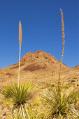 Sotol and Trap Mountain, Mule Ears Trail, Chisos Mountains, Chihuahuan Desert, Big Bend National Park, Texas