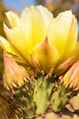 Prickly Pear Cactus Flower, Chisos Mountains, Chihuahuan Desert, Big Bend National Park, Texas
