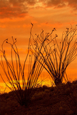 Ocotillo Sunset, Chisos Mountains, Chihuahuan Desert, Big Bend National Park, Texas