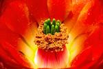 Claret Cup Cactus, Echinocereus triglochidiatus