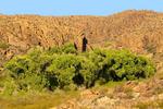 Fremont Cottonwood Oasis, Populus fremontii, Ojito Adentro Trail, Big Bend Ranch State Park, Chihuahuan Desert, Lajitas, Texas