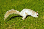 White Morph of the Eastern Grey Squirrel, Eastern Gray Squirrel, Sciurus carolinensis