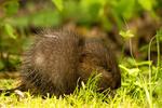 Baby Muskrat, Ondatra zibethicus