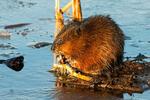 Muskrat Eating in Freshwater Marsh, Ondatra zibethicus