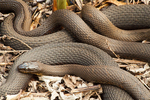 Northern Black Racer Snakes Mating, Coluber constrictor